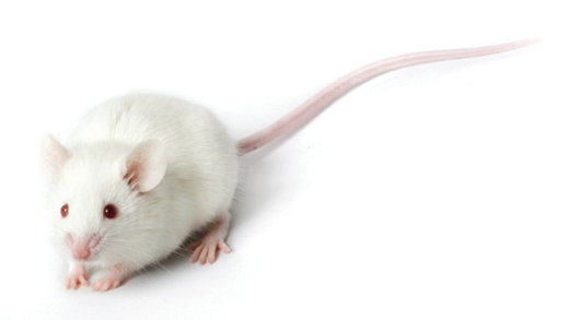 Image result for lab mice